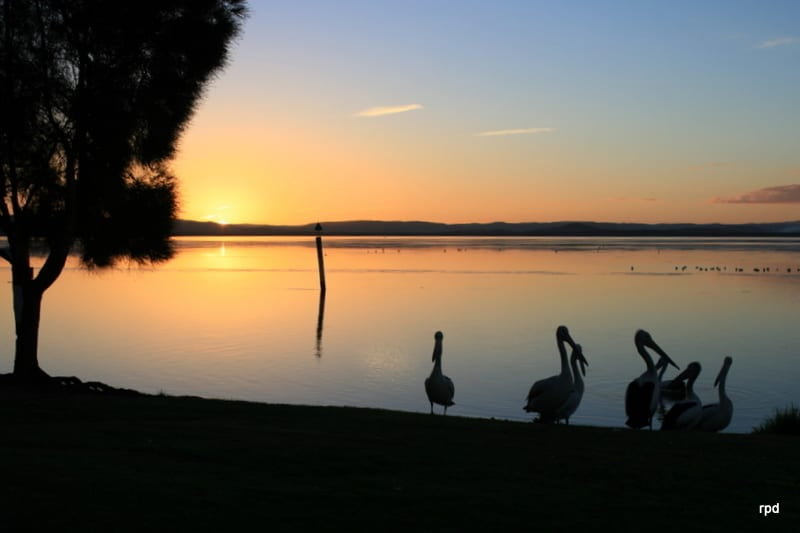 PELICANS ADMIRING SUNSET ON TUGGERAH LAKE