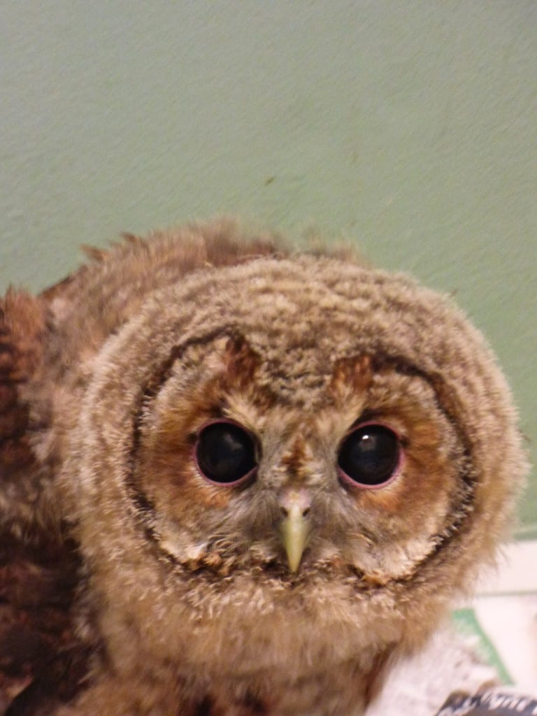 WRAS's young Tawny Owl growing up