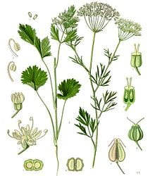 Green anise, one of the three herbs used in the production of absinthe