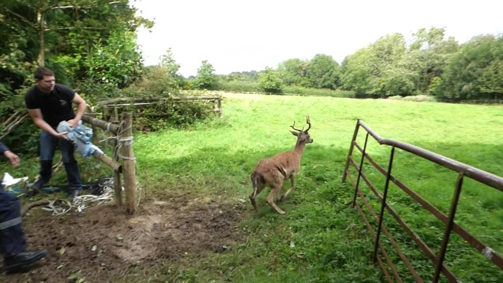 High Hurstwood Deer Rescue 20th Aug 2016 (1)
