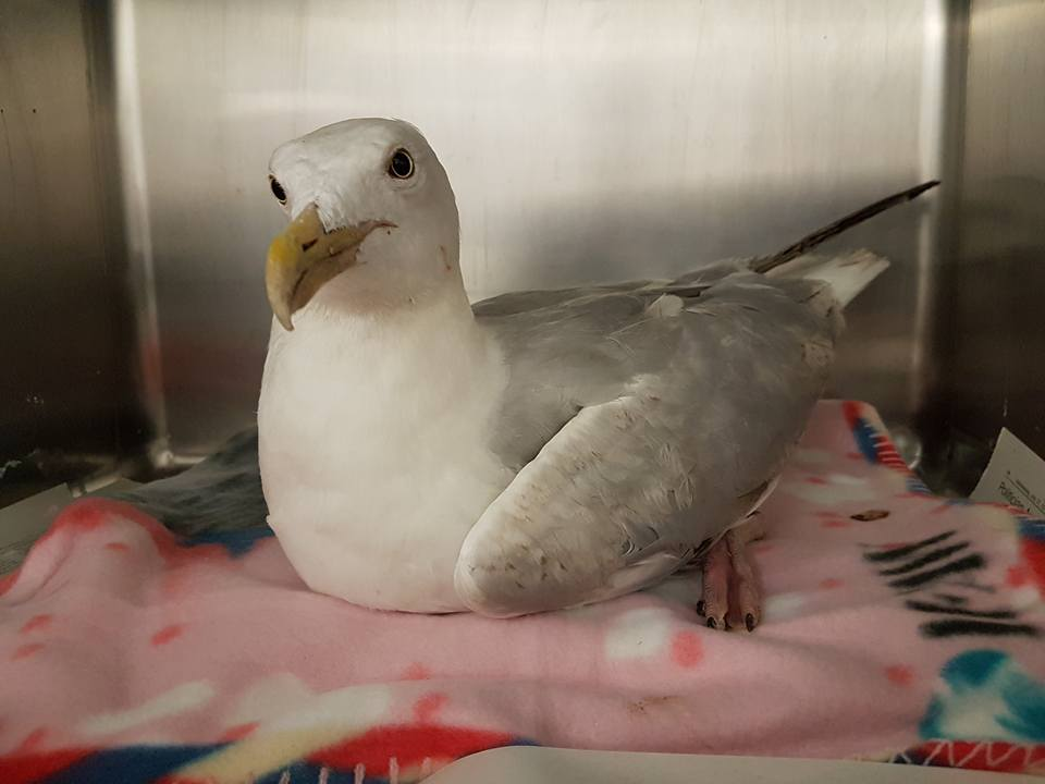 Injured Gull from Cuilfail Tunnel Roundabout