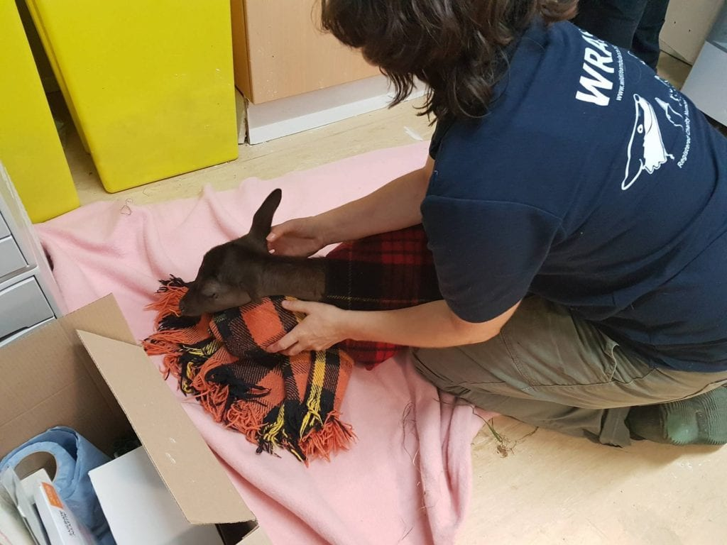 Kathy Martyn with the Road Casualty Deer from Nutley (2)