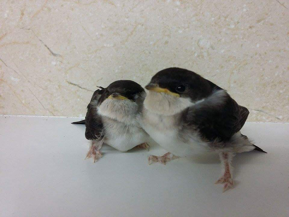 Two housemartins from Maresfield
