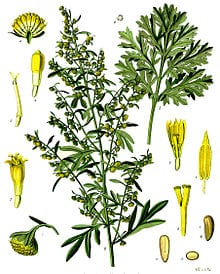 Wormwood- one of three main herbs used in the production of absinthe