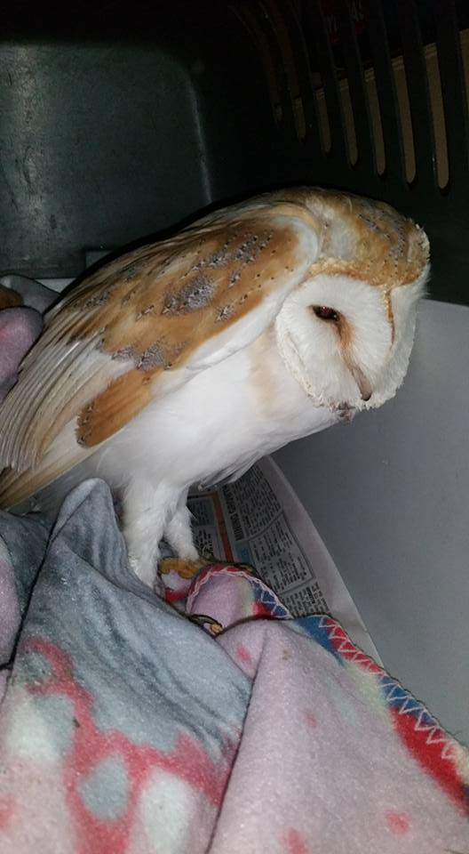 barn-owl-rescued-at-willingdon-drove