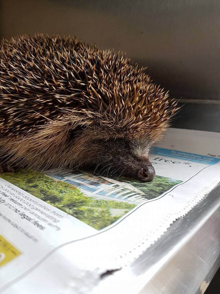 browns-lane-uckfield-road-casualty-hedgehog