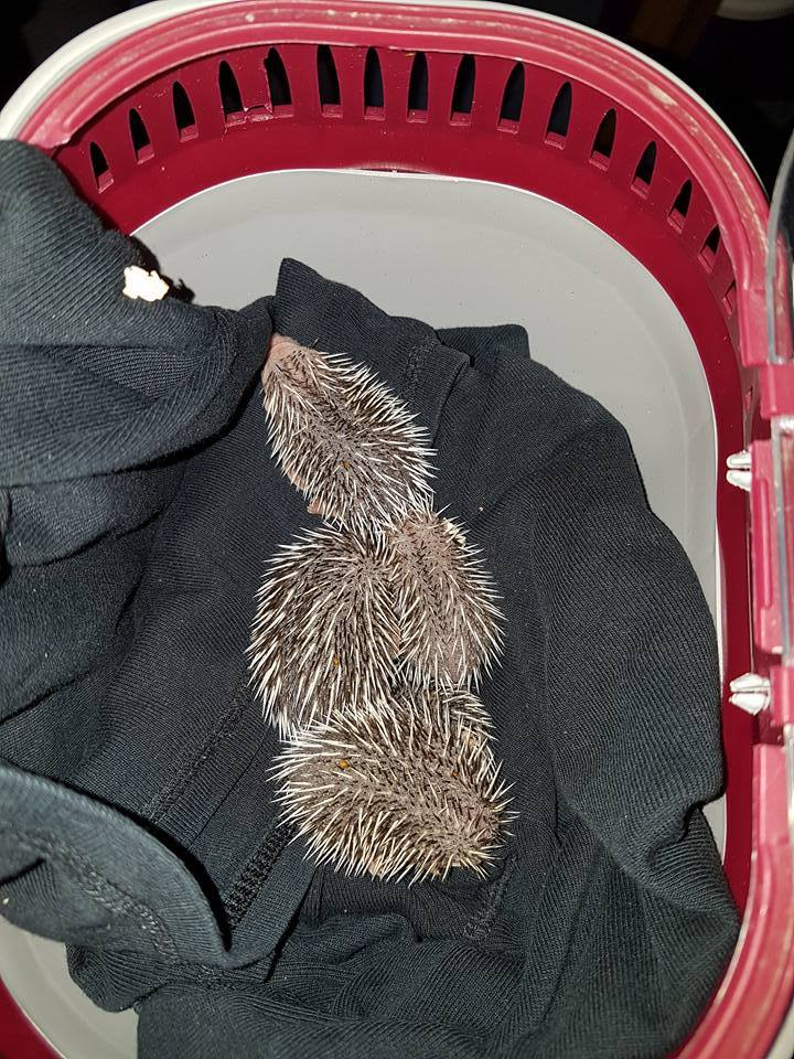 five-baby-hedgehogs-from-eastbourne-now-with-kathy