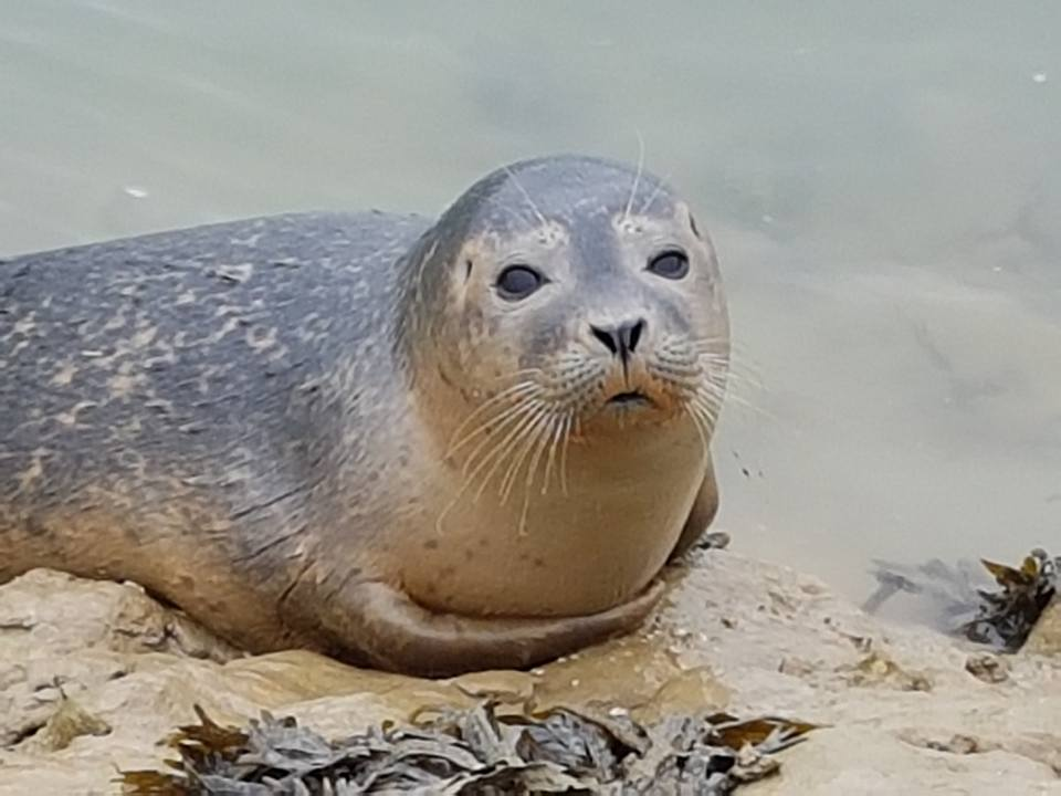 harbour-seal-at-piddinghoe-1