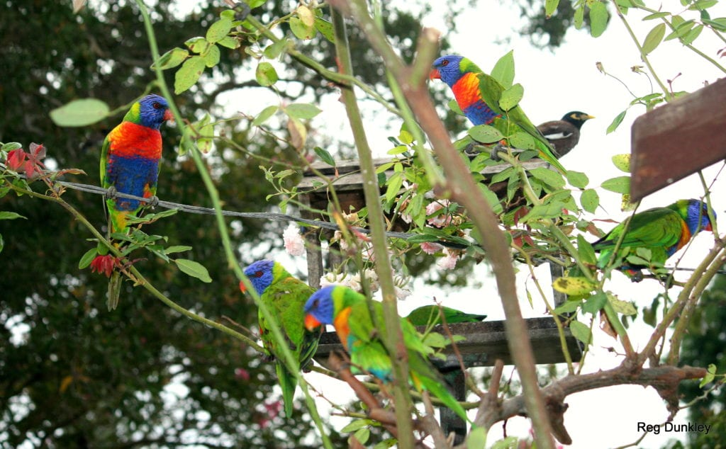 bird-lorikeet-group