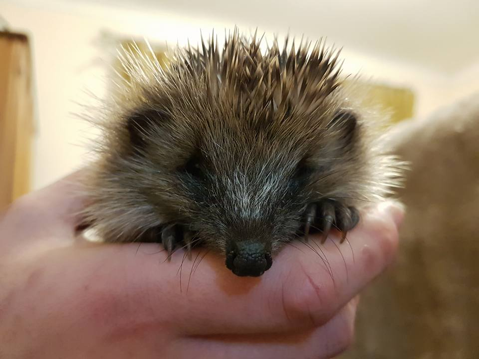 one-of-chriss-rescued-hedgehogs