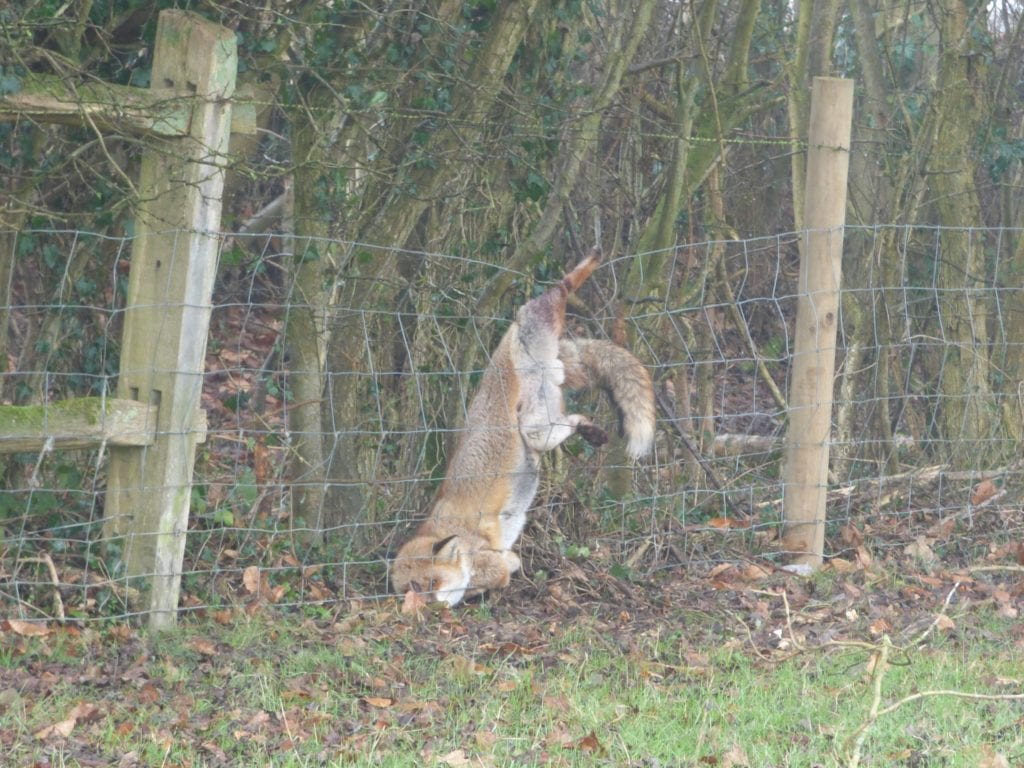 Fox caught in Fence at Ardingly
