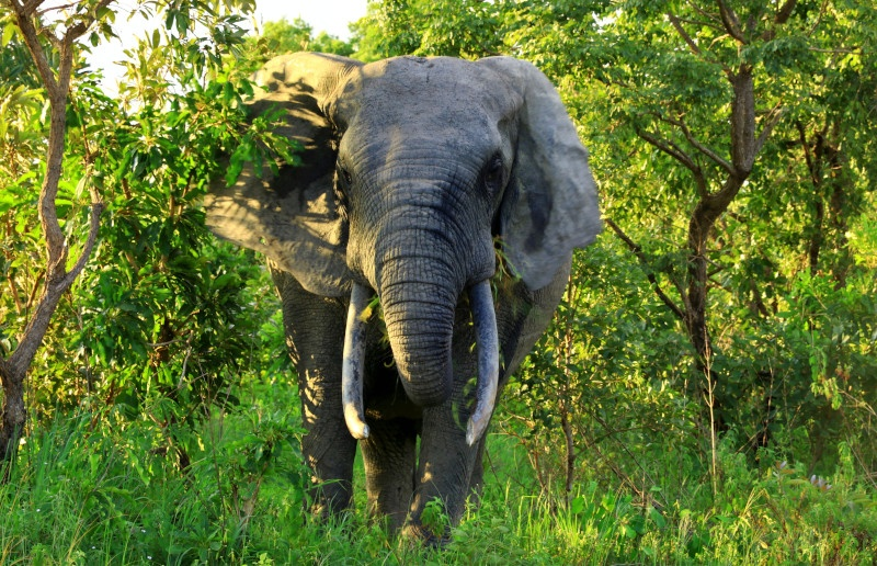 Young Bull Elephant grazing in the early evening Mole NP