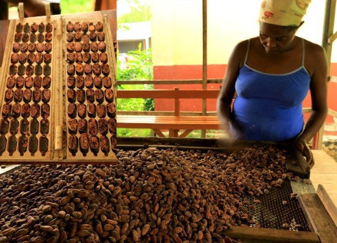Scanning the cocoa beans for defects and test tray