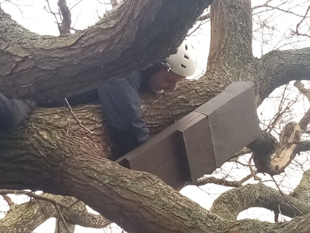 Trevor checking on the Bat Box in the Tree