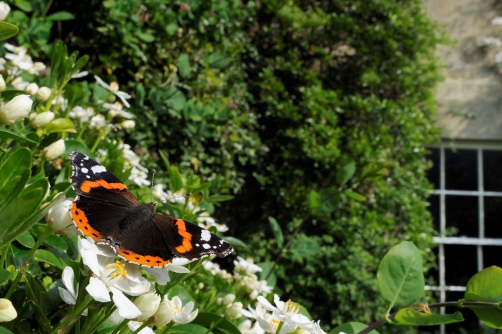 Pic Red admiral C Nick Upton VISION