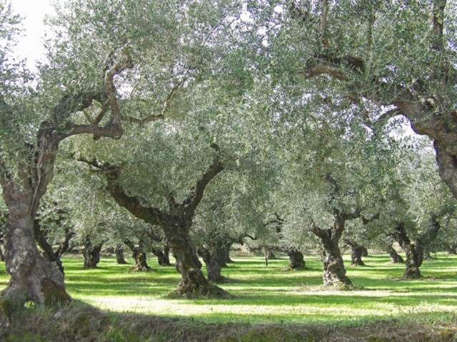 Zakynthos is proud of its olive trees forests