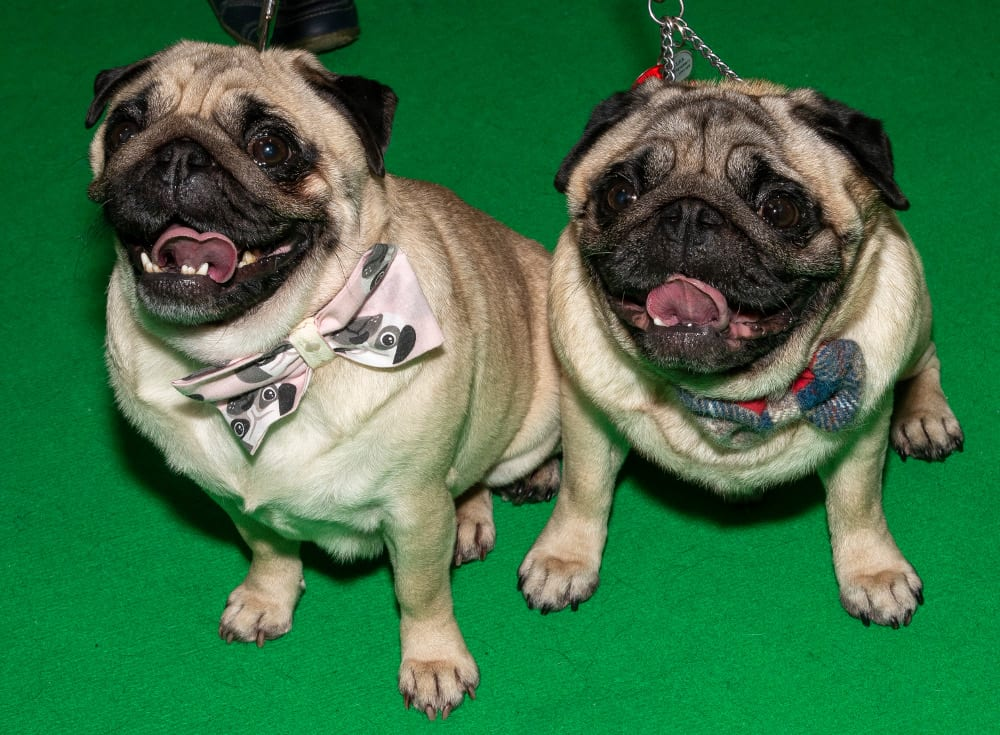 Pic Pugs Beryl and Arthur