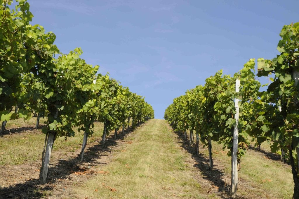 Among rows in a vineyard
