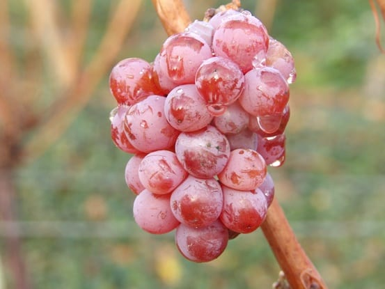 Alsatian grape