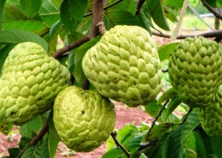 manfaat buah srikaya untuk kesehatan