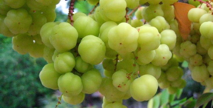 manfaat buah cermai untuk kesehatan
