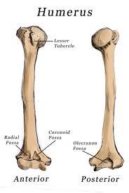 Humerus bone anatomy