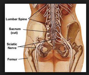 Sciatic nerve close up at lower back