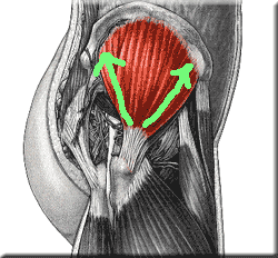 Gluteus Medius with lines