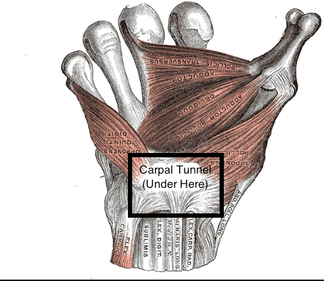 Gray's anatomy flexor retinaculum with carpal tunnel