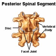 Facet joints posterior view
