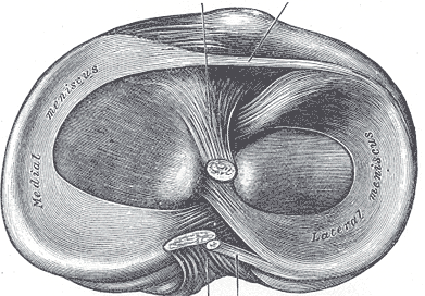 Medial meniscus on left; lateral meniscus on right. (Top view.)