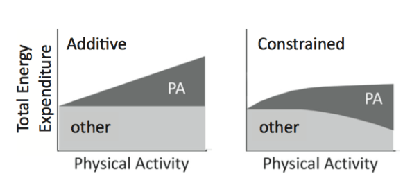 Additive vs constrained hypothesis calories burned