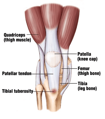 tibial tuberosity anatomy