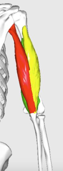 triceps brachii back posterior view