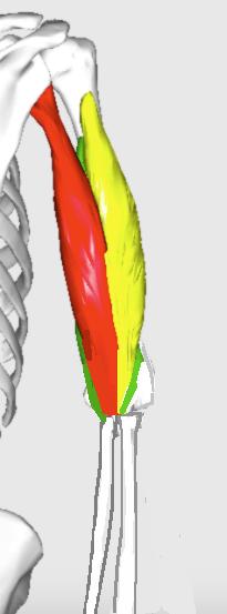 triceps brachii line of pull cubitus varus