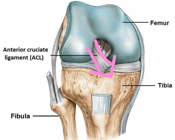 ACL anatomy with fibula and arrow