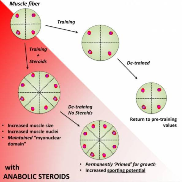 Credit: http://breakingmuscle.com/health-medicine/once-you-ve-used-steroids-is-it-possible-to-ever-compete-clean-again