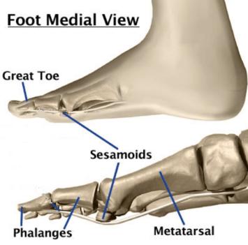 sesamoid-bones-medial-view