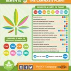 Cannabinoid compounds found in cannabis plants (Infographic)