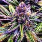 Bulldozed to Death for Growing 10 Marijuana Plants