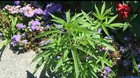 More than 30 cannabis plants found growing in flower beds at the Vermont Capitol