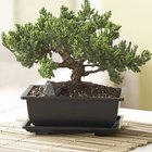 Win A Beautiful Juniper (pine) Bonsai (worth at least $50!) (12/01/2017) {US}
