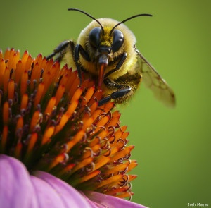 Image result for bumble bee pollinating
