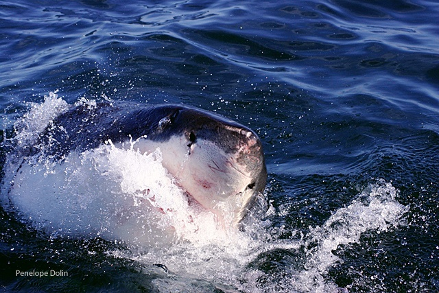 white shark, national wildlife photo contest, NWF, federation