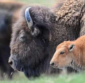 Bison Cow and Calf Profile by NWF's Steve Woodruff