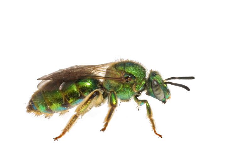 Metallic Green Bee (Augochloropsis metallica) by Clay Bolt