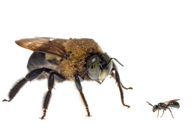 Most Native Bees Are Solitary Creatures There The Yellow Faced Squash Digger Long Horned Mallow Cuckoo