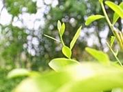 แรกกล้าผักหวานป่า (1/6)