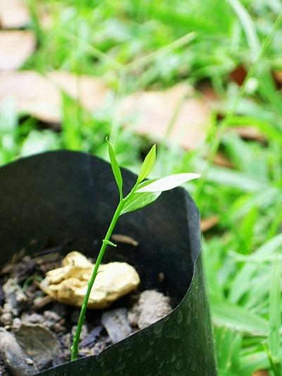 แรกกล้าผักหวานป่า (5/6)