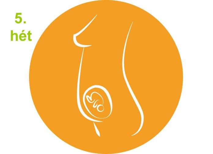 terhességi hetek - 5.hét, az 5 hetes magzat